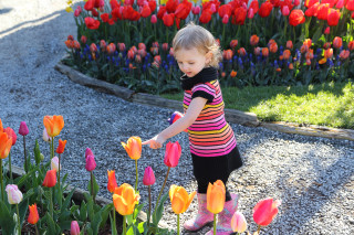 Toddler girl pointing at tulips