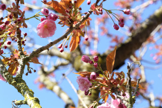 Flowering cherry branch - Roozengaarde