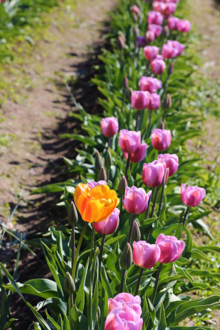 lone orange tulip in row of purple tulips
