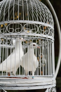 Doves in ornate cage awaiting release