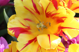 Yellow and red fancy tulip - Roozengaarde