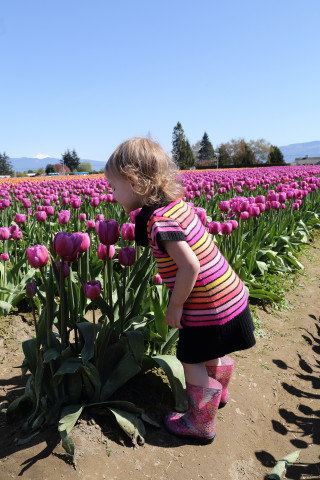 Toddler smelling the tulips - Roozengaarde